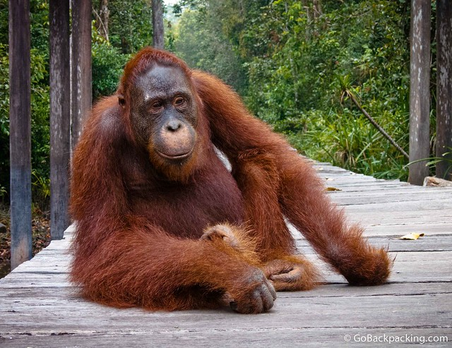 Sweet Hope, my favorite orangutan in Borneo
