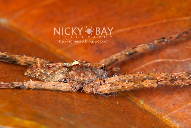 Wandering Spider (Ctenidae) - DSC_8276
