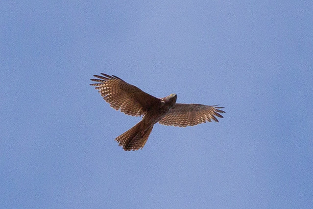Header of Accipiter fasciatus