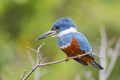 [フリー画像素材] 動物 2, 鳥類, クビワヤマセミ ID:201210290400