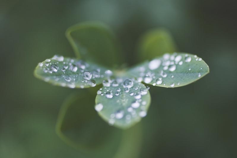 petals of water