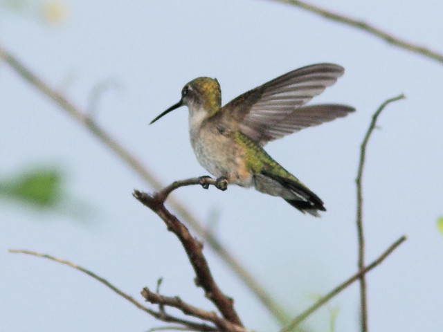 Ruby-throated Hummingbird 20121014