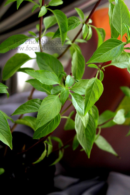 Thai Basil Leaves