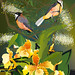 Eastern Spinebills, local grevillea and exotic orchids