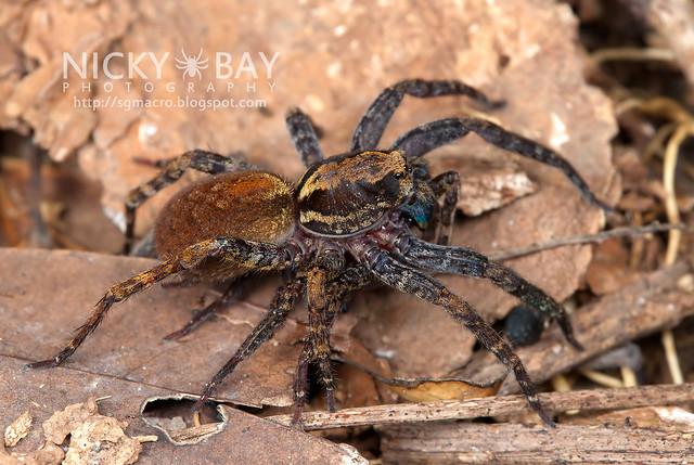 Wandering Spider (Ctenidae) - DSC_5414