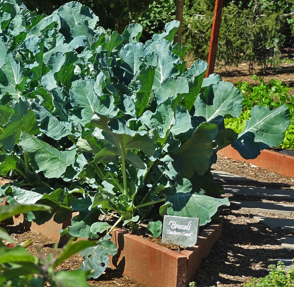 broccoli-white-house