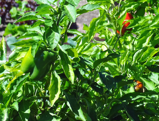 garden-peppers