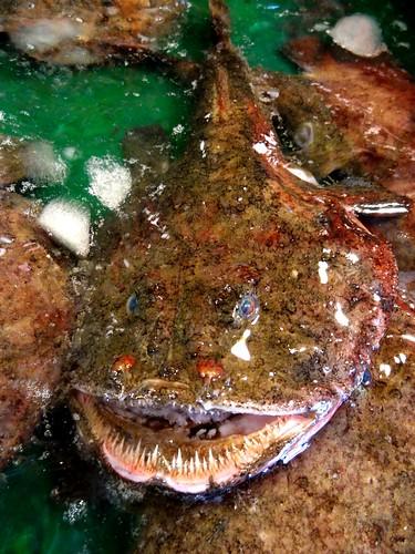 已被捕上岸的鮟鱇魚。常見的鮟鱇魚都是雌性,雌性體積較雄性大40倍。