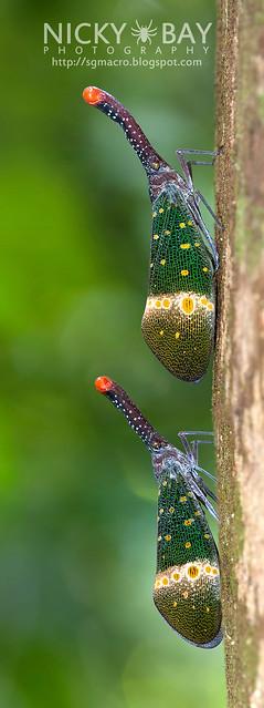 Lantern Bug (Pyrops pyrorhyncha) - DSC_4265