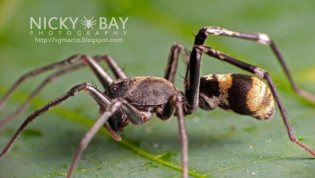 Ant-Mimic Sac Spider (Corinnomma severum) - DSC_3715