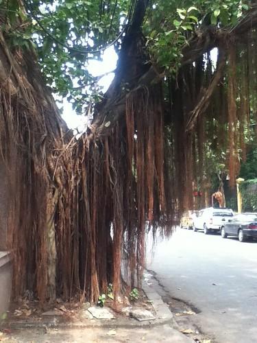 越南河内街头榕树