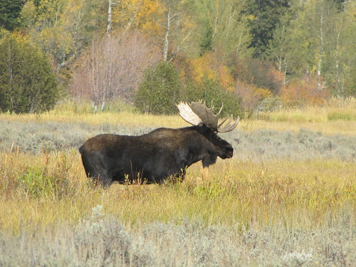 IMG_6282_Bull_Moose_along_Moose_Wilson_Road