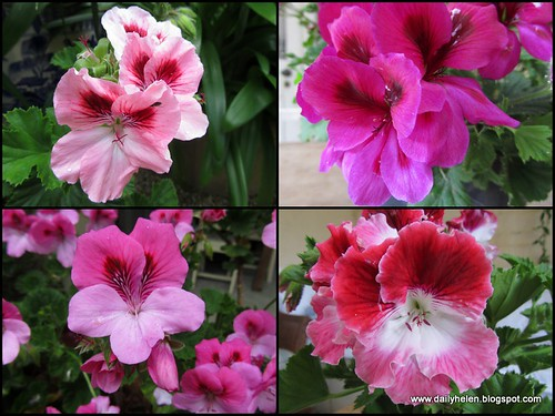 dailyhelen_pelargoniums by dailyhelen