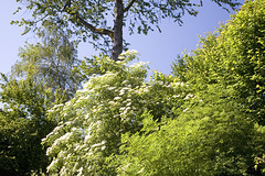 blooming elderflower tree