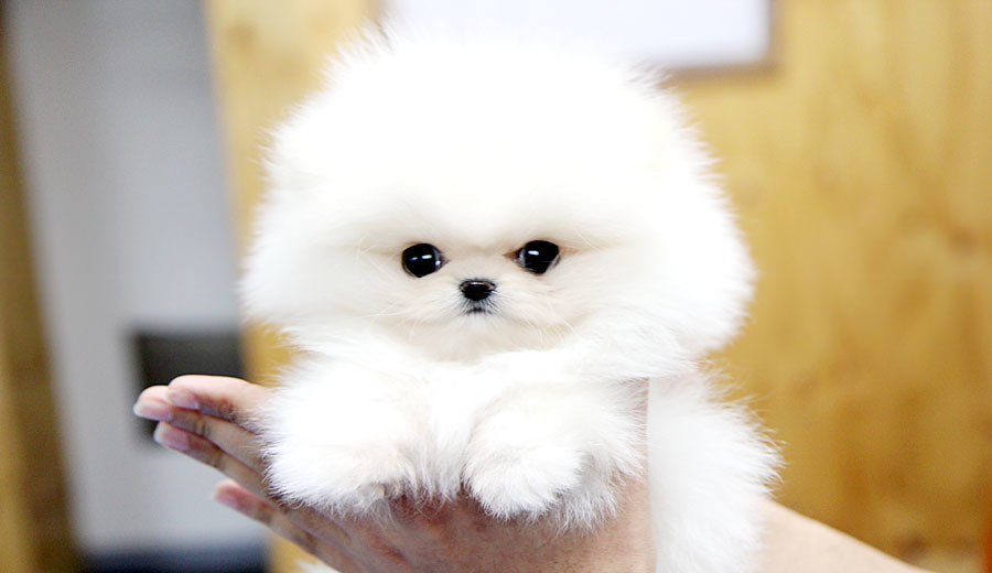 Top quality teacup pomeranian puppy