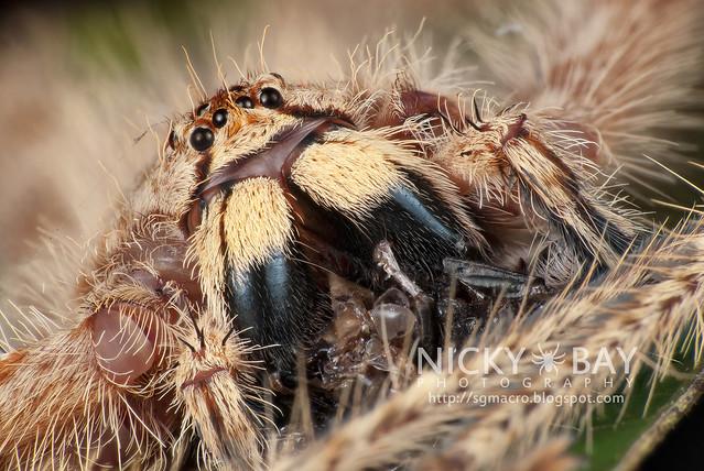 Huntsman Spider (Sparassidae) - DSC_0562