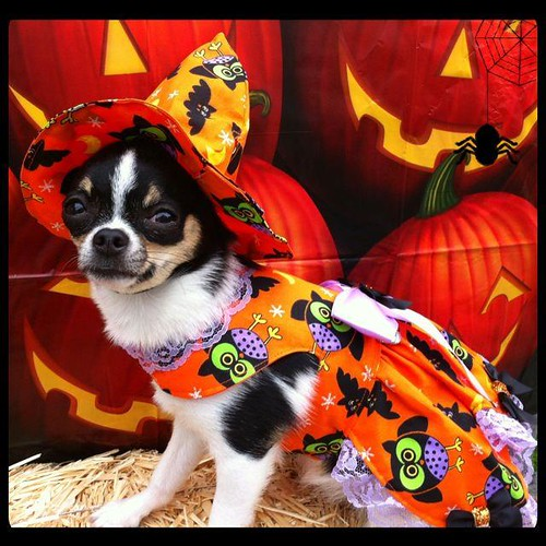 Funny pet costumes, Halloween Chihuahua
