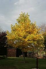 19. Oktober 2012 - 9:55 - Unser Tulpenbaum im Herbst 2012. So in der Morgensonne sieht der Baum mit seinen nun gelb verfärbten Blätter echt klasse aus.