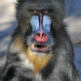 Mandrill by Truus & Zoo