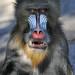 Mandrill by Truus & Zoo