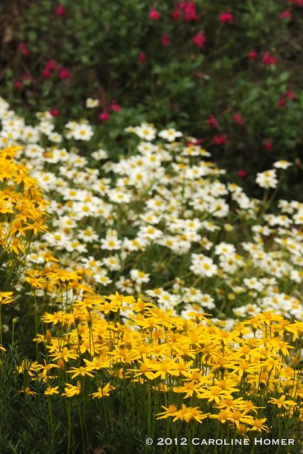 Damianita, blackfoot daisy, salvia