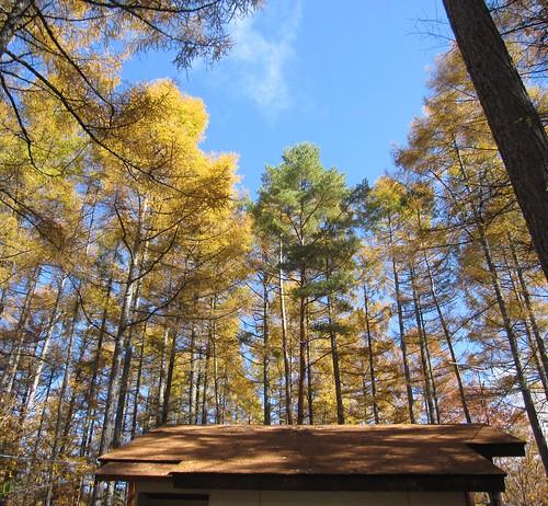 紅葉した唐松に囲まれた山荘 2012.10.29 by Poran111