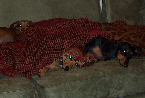 dachshunds in lair on sofa