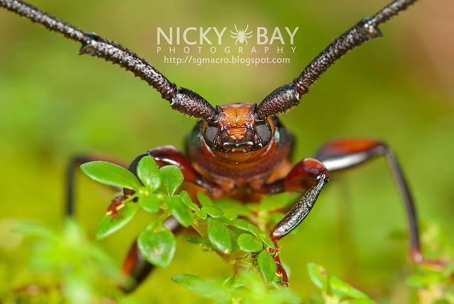 Longhorn Beetle (Xystrocera festiva) - DSC_8280