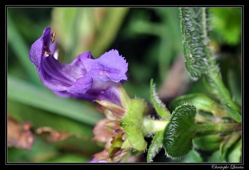 Brunelle commune (Prunella vulgaris)