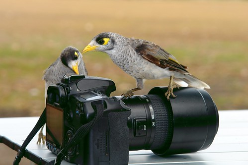 Noisy Miners . Is it repairable? by Uhlenhorst