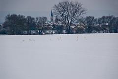 Cygnes dans la neige