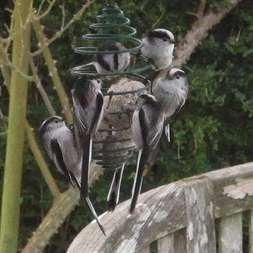 Mésanges à longue queue - Long tailed Tits - Schwanzmeisen