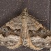 Hydriomena deltoidata - Photo (c) Jon Sullivan, some rights reserved (CC BY-NC)