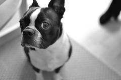 dog breed(1.0), animal(1.0), dog(1.0), pet(1.0), toy bulldog(1.0), french bulldog(1.0), boston terrier(1.0), monochrome(1.0), carnivoran(1.0), black-and-white(1.0),