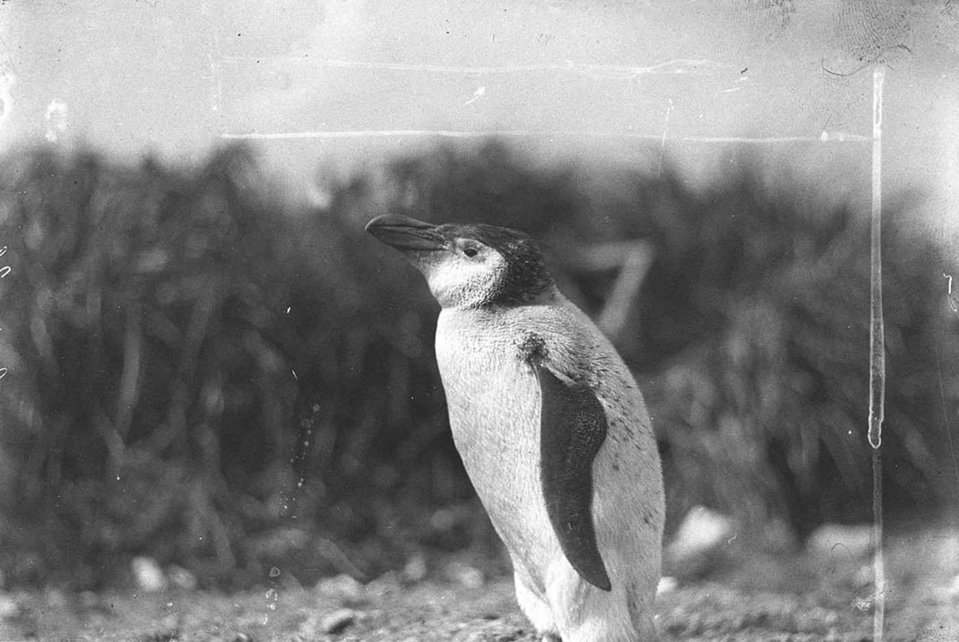 An Adelie Royal penguin, Australasian Antarctic Expedition, 1911-14 / photographer Harold Hamilton