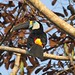 White-throated Toucan (Roger Wasley)