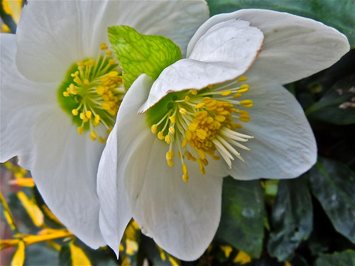 White Hellebores by Irene.B.