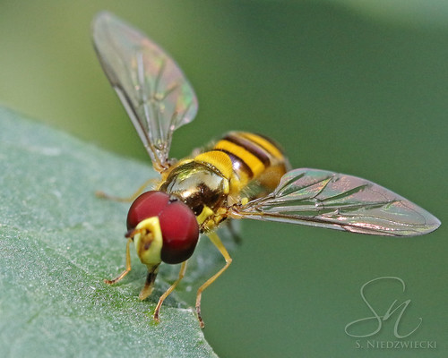 Hoverfly 6110-16