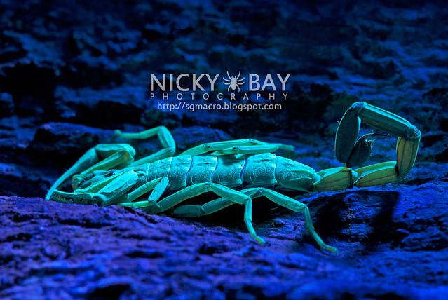 Scorpion (Lychas scutilus?) - DSC_0634
