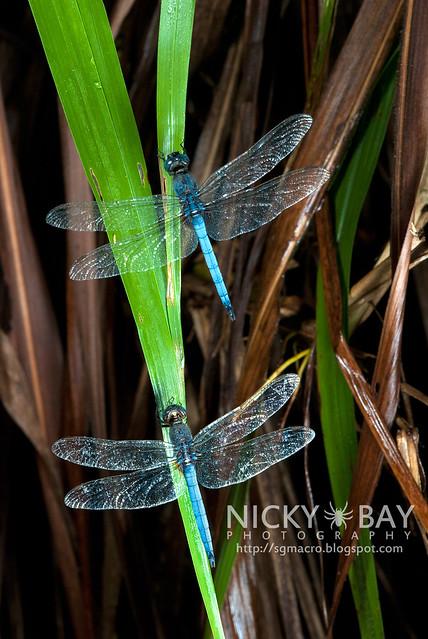 Dragonflies (Anisoptera) - DSC_0757