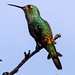 Small photo of White-bellied Hummingbird (Amazilia chionogaster)