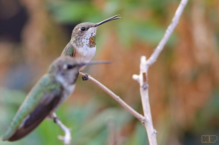 Allen's Hummingbird 101112