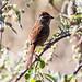Small photo of Rusty Sparrow (Aimophila rufescens)