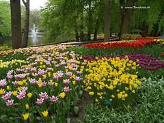 Dutch Tulips, Keukenhof Gardens, Holland - 0788