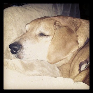 Watching the race with Sophie in my #lap  #hound #rescue #dogs #dogstagram #instadog #sleep #adoptdontshop