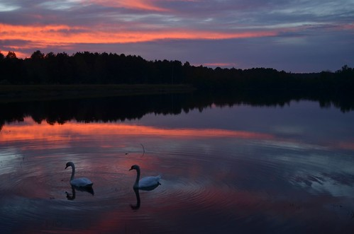 Sunset Swans 10-14-12 by Get The Flick