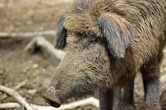 animal, wild boar, domestic pig, pig, fauna, close-up, pig-like mammal, wildlife,