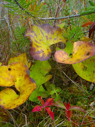 Deer cabbage (Fauria crista-galli) turns yellow to signal fall as it grows in a bog near Petersburg, AK. Muskegs, a colloquial term for peat bogs, blanket 10% of the Tongass National Forest. These wetlands range in size from a few square feet to many acres. Over the ages, muskegs formed as Sphagnum mosses, rushes and sedges grew and built up spongy carpets in these very wet, almost treeless areas.  Photo by Karen Dillman.