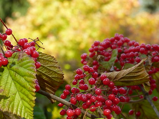 Linden viburnum berries in my garden yesterday