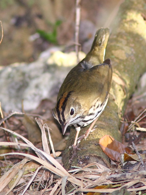 Ovenbird 4-20121016